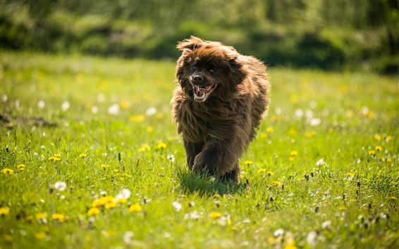 Wallpaper Dog running, grass, wildflowers