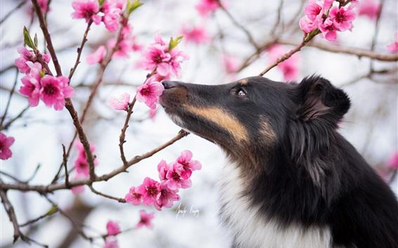 Wallpaper Dog, spring flowers