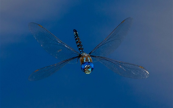 Wallpaper Dragonfly, wings, insect, blue background