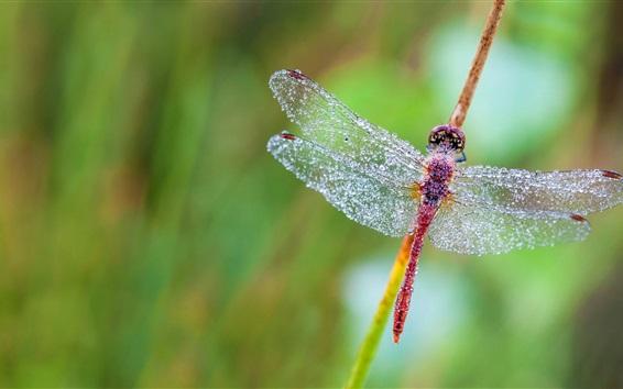 Papéis de Parede Libélula, asas, gotas de água