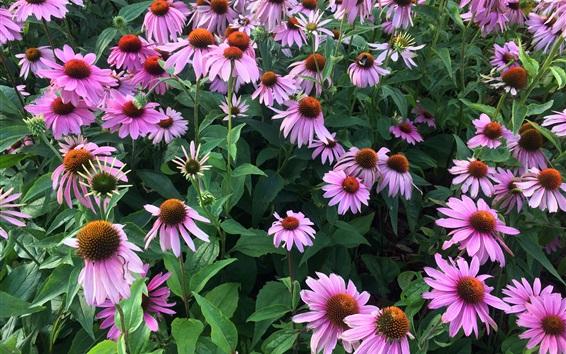 壁紙 エキナセアの花、ピンク、庭