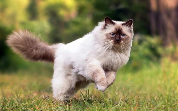 Fond d'écran Course de chat Fluffy