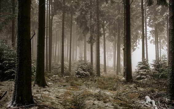Wallpaper Forest, trees, fog, frost, cold