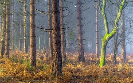 Wallpaper Forest, trees, grass, fog, England