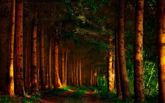 Papéis de Parede Floresta, árvores, sombras, raios solares