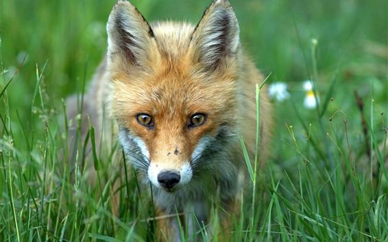 Wallpaper Fox front view, head, face, grass