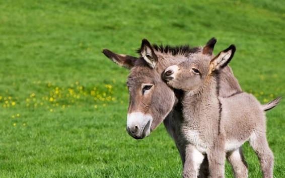 Обои Франция, жеребенок, ослик, трава