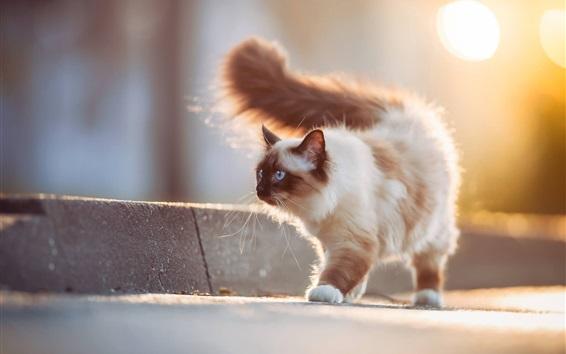 Wallpaper Furry cat, blue eyes, tail