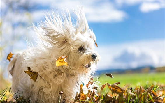 Wallpaper Furry white dog, leaves, wind