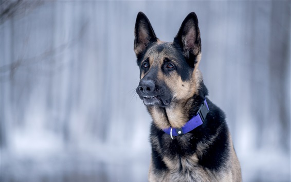 Обои Вид спереди немецкой овчарки, собака, лицо
