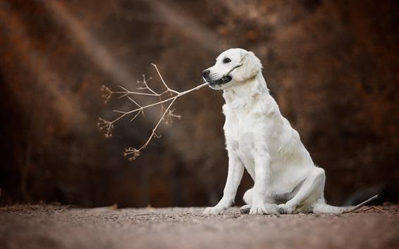 Wallpaper Golden Retriever, white dog, twigs