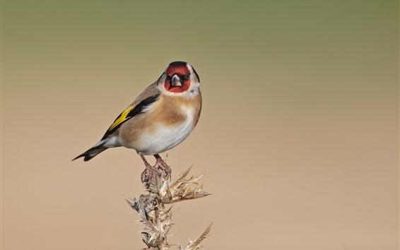 Wallpaper Goldfinch, birds close-up