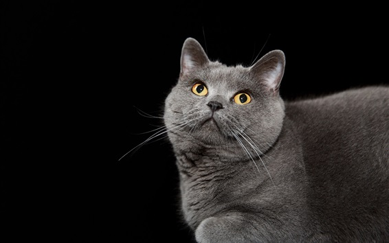 Wallpaper Gray cat look up, yellow eyes, black background