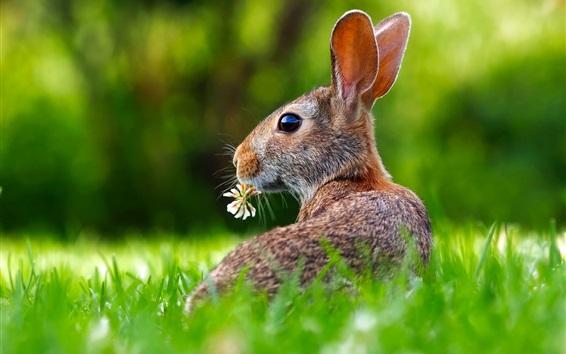 Обои Серый заяц оглядывается назад, трава