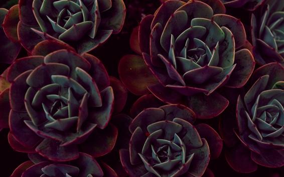 Wallpaper Houseplant close-up, echeveria, succulent plants