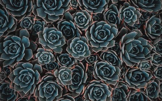 Wallpaper Houseplant, echeveria, succulent flowers