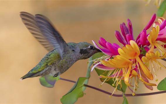 Papéis de Parede Colibri e madressilva