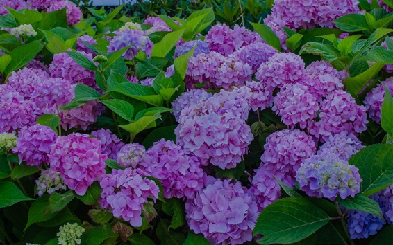 Wallpaper Hydrangea flowers bloom, spring