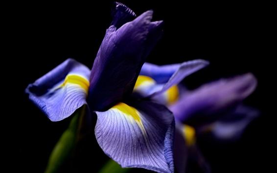 Papéis de Parede Fotografia macro da flor da íris, fundo preto