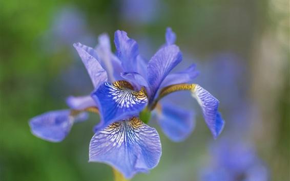 Papéis de Parede Iris flower macro fotografia, pétalas azuis, bokeh