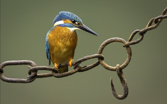Papéis de Parede Martim-pescador, pássaro, corrente enferrujada