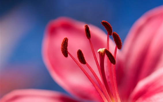 Wallpaper Lily, stamens, petals, red flower