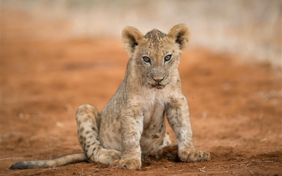 Wallpaper Lion cub look at you, ground