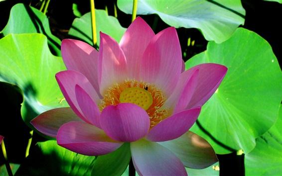 Wallpaper Lotus, pink flower, green leaves