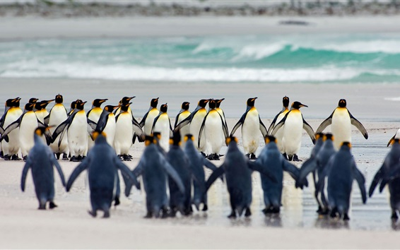 Wallpaper Many royal penguins, Falkland Islands