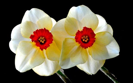 Fondos de pantalla Narciso, pétalos, macro fotografía, fondo negro