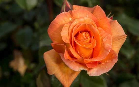 Papéis de Parede Pétalas de laranja rosa close-up, gotas de água