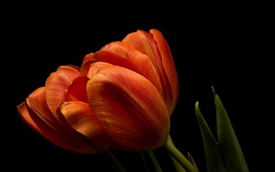 Wallpaper Orange tulips close-up, black background