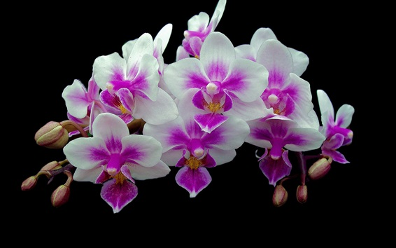 Wallpaper Orchids, inflorescence, pink and white petals, black background
