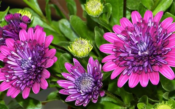 Fond d'écran osteospermum, pétales, fleurs violettes