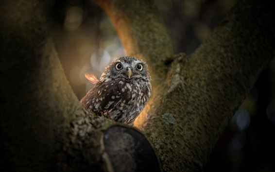 Wallpaper Owl, tree, bird photography