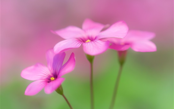 Wallpaper Oxalis, pink flowers