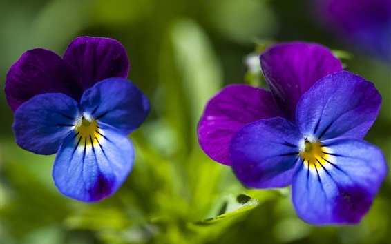Wallpaper Pansy, blue and purple petals