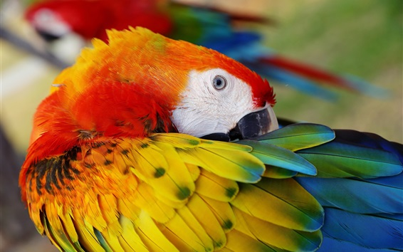 Wallpaper Parrot comb feathers