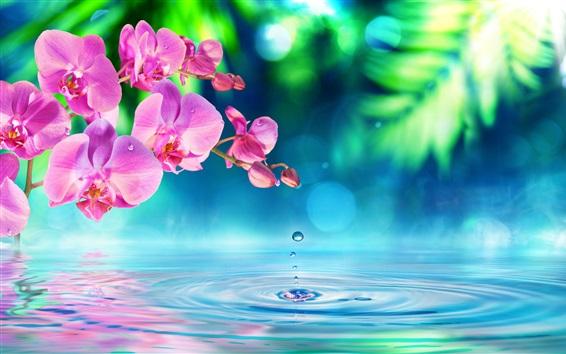 壁紙 胡蝶蘭、ピンクの花、水の波、滴、美しい