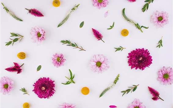 Wallpaper Pink flowers, chrysanthemum, white background