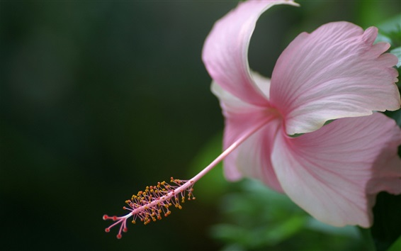 Wallpaper Pink hibiscus flower, petals