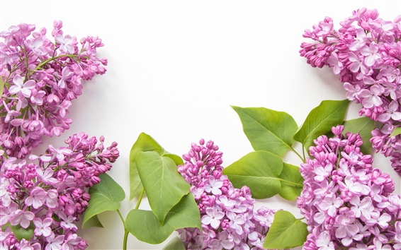 Papéis de Parede Flores de lilás rosa, fundo branco