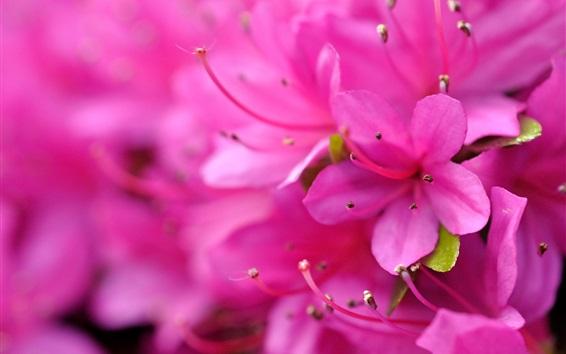 배경 화면 핑크 진달래 매크로 촬영, 꽃잎