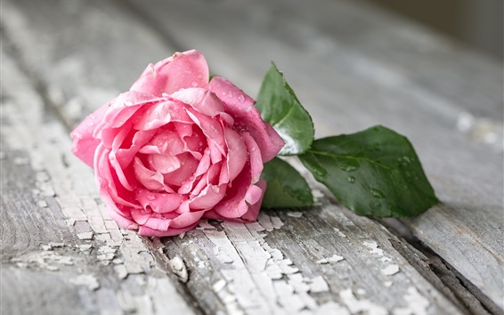 Wallpaper Pink rose, water drops, wood board