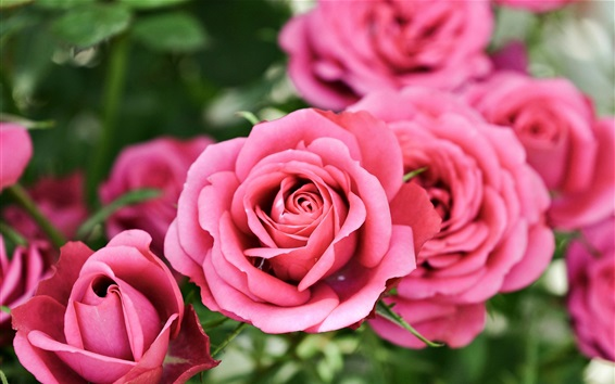 Wallpaper Pink roses, bokeh, flowers