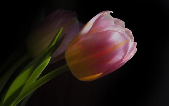 Papéis de Parede Tulipas cor-de-rosa, fundo escuro