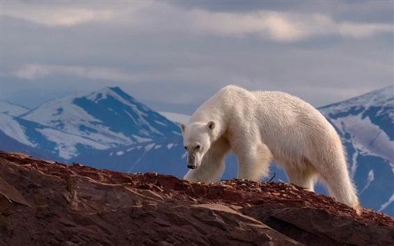 Обои Белый медведь, скалы, горы
