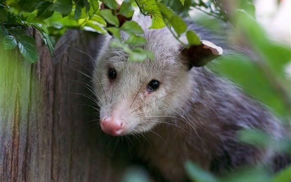 Wallpaper Possum look, green leaves