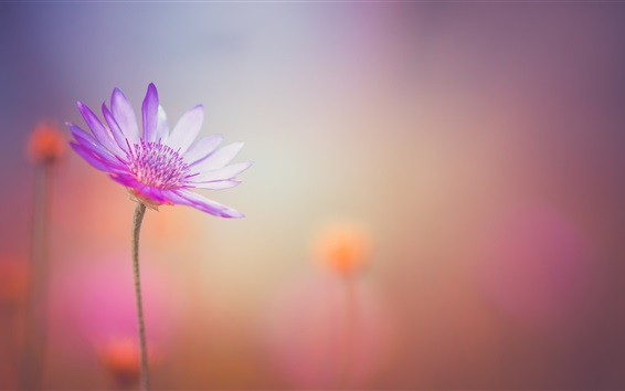 Wallpaper Purple flower close-up, petals, blurry background