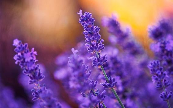 Wallpaper Purple flowers, lavender, plant